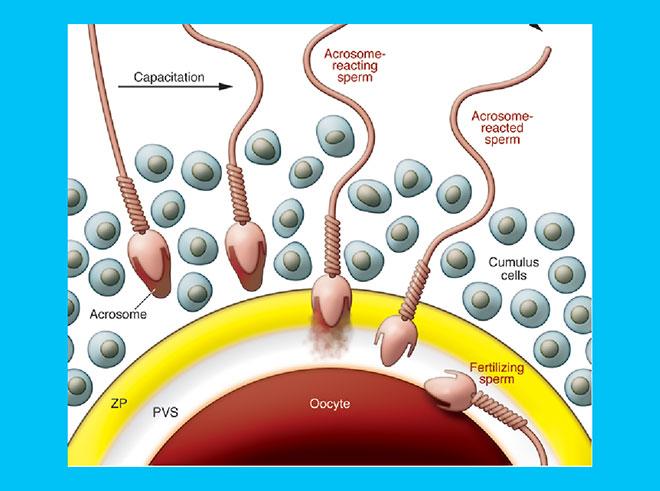 инфографика оплодотворения ооцита сперматозоидами