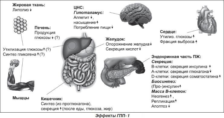 Эффекты глюкагоноподобного пептида-1