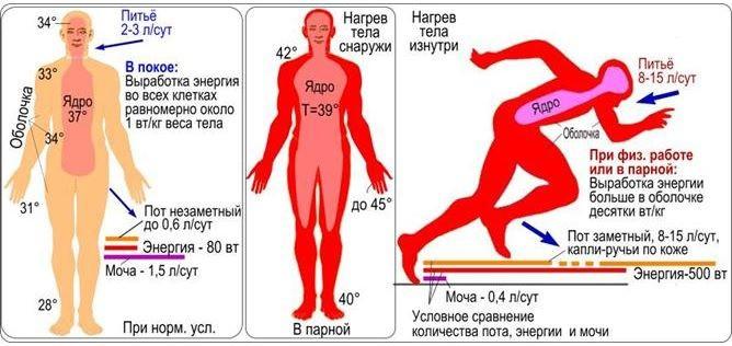 Сравнение температуры тела при различных состояниях