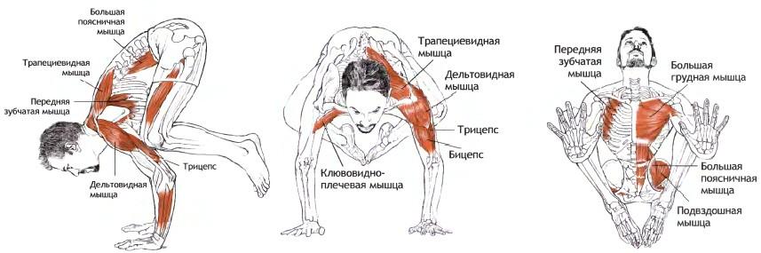 Мышцы при Бакасане