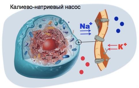 Калиево-натриевый насос