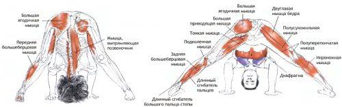 Работающие мышцы в позе Прасарита Падоттанасана