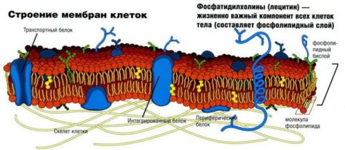 Лецитин в составе клеток