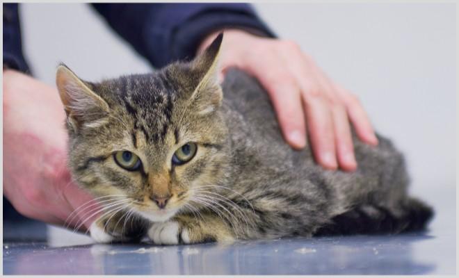 Почему у кошек и котов распухают лапы