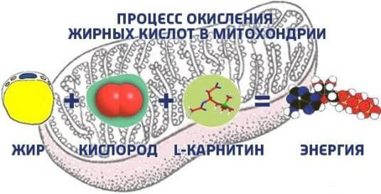 Процесс окисления жирных кислот