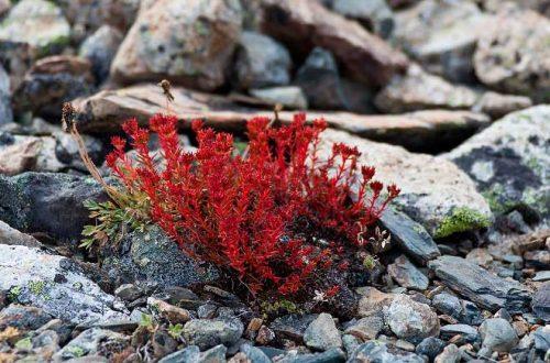 Красная щетка или родиола сибирская