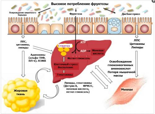 Метаболизм фруктозы