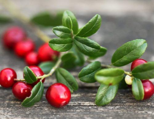 Брусника листья и ягоды