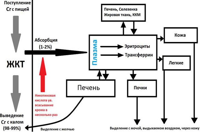 Обмен хрома в организме