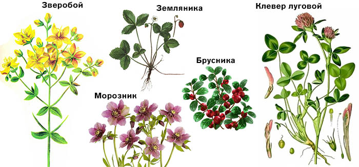 Растения, нормализующие сахар