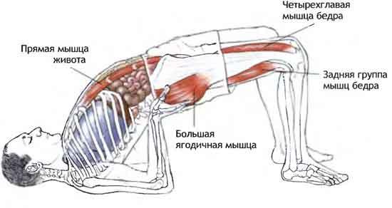 Мышцы, задействованные в позе мостика
