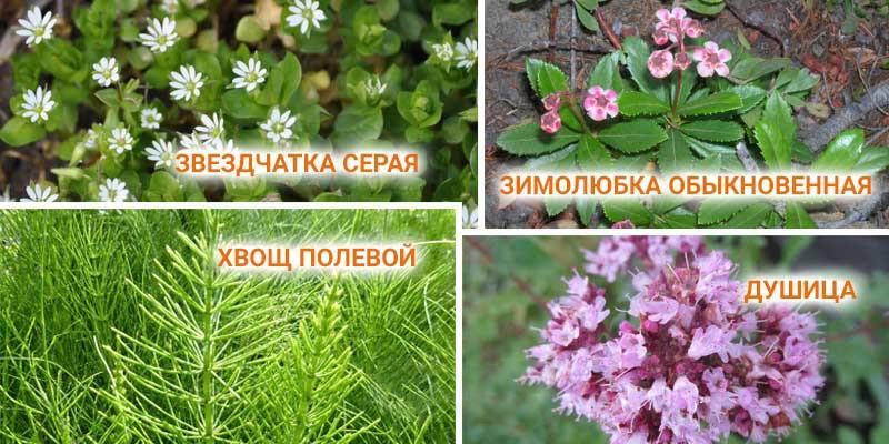 Популярные мочегонные травы