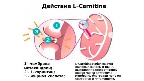 Действие левокарнитина