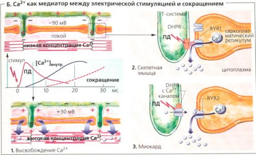 Электрическая стимуляция мышц