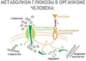 Метаболизм глюкозы в организме человека