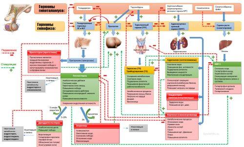 Участие тироксина в обмене веществ