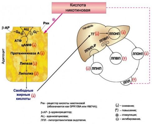 Механизм действия никотиновой кислоты