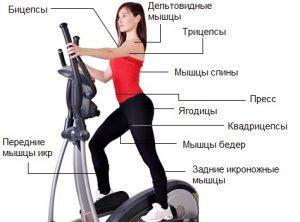 Задействованные мышцы на эллиптическом тренажере