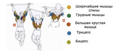 Мышцы в работе при подтягивании