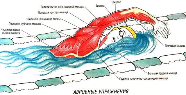 Мышцы при плавании