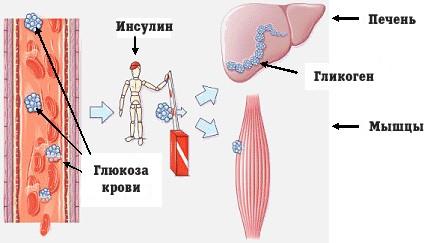 Гликоген в печени и мышцах