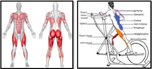 Мышцы в работе на эллиптическом тренажере