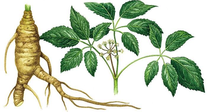 Лист и корень женьшеня