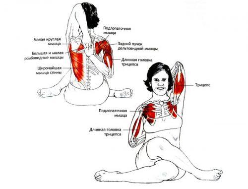 Мышцы в работе при Гомукхасане