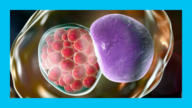 хламидия под микроскопом