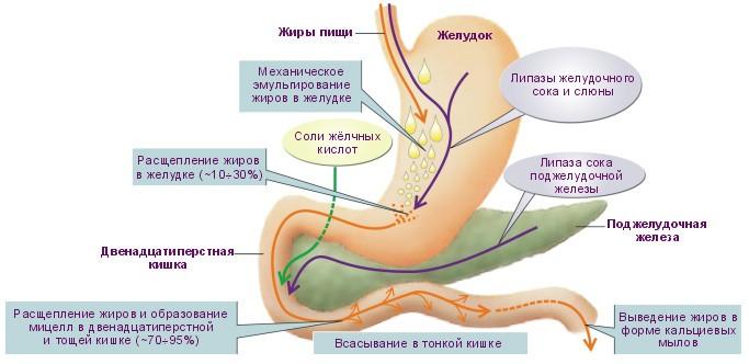 Пищеварение жиров