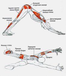 Мышцы, работающие при асане Адхо Мукха Шванасана