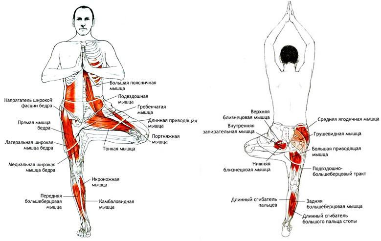 Работающие мышцы при Врикшасане