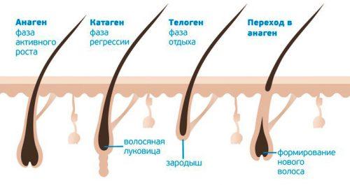 Стадии роста волоса