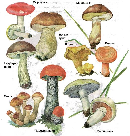 Популярные съедобные грибы