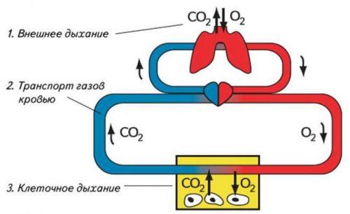 Внешнее и клеточное дыхание