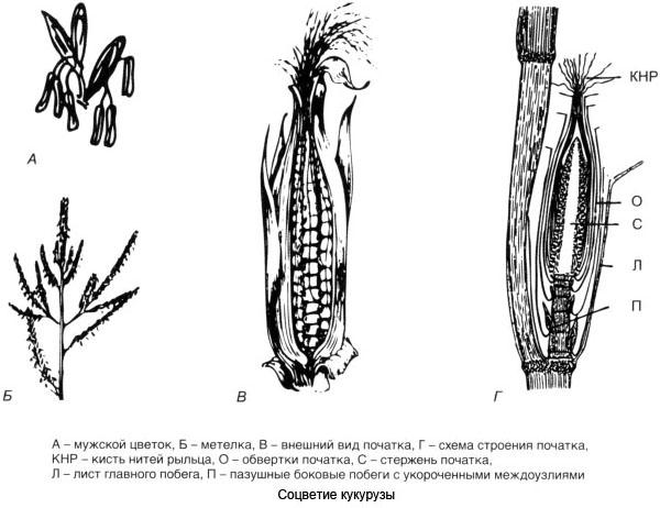 Соцветие кукурузы