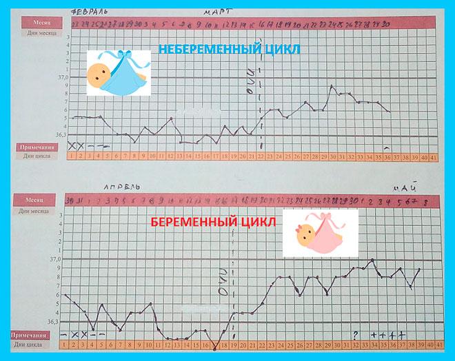 два графика базальной температуры, один без беременности, второй с беременностью