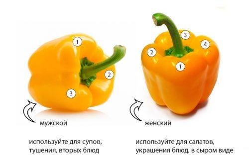 Женский и мужской болгарский перец