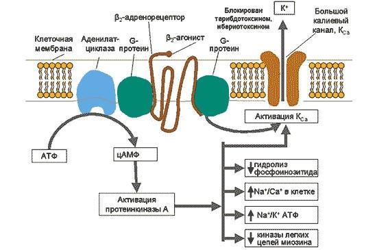 Механизм действия Сальбутамола