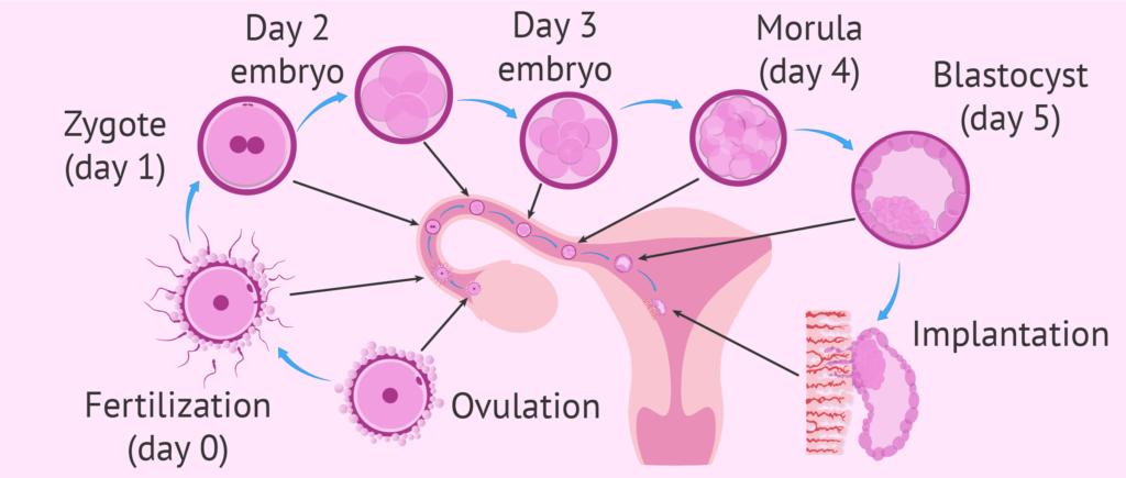 имплантация эмбрионов