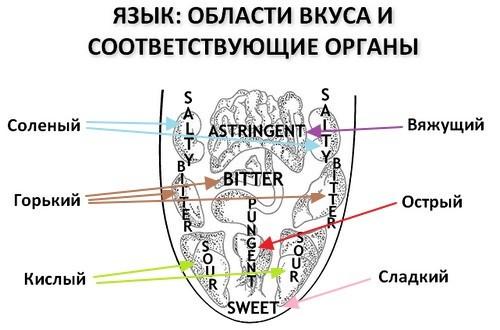 Области вкуса на языке