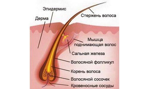 Структура ресницы